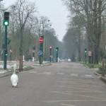 Cygne route Bois de Vincennes Janvier 2013