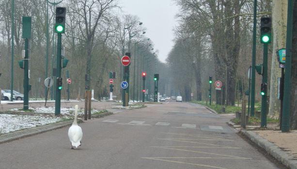 Les cygnes tout déboussolés par le gel au Bois de Vincennes