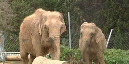 Le Cirque Pinder veut sauver ses éléphantes