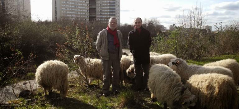Campagne insolite : Alain Fresko et Robert Schmitz promènent leurs moutons