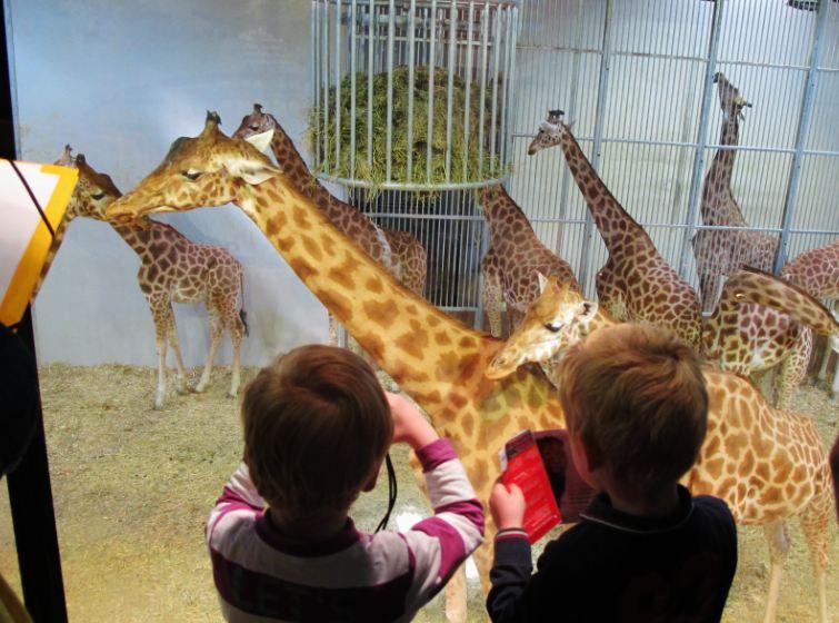 Girafes vue du haut