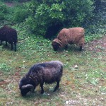 Moutons VLR