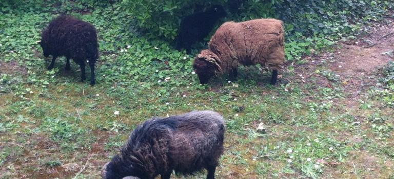 Moutons et chèvres viennent tondre les parcs de Villeneuve-le-Roi