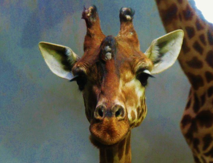 Tete de girafe