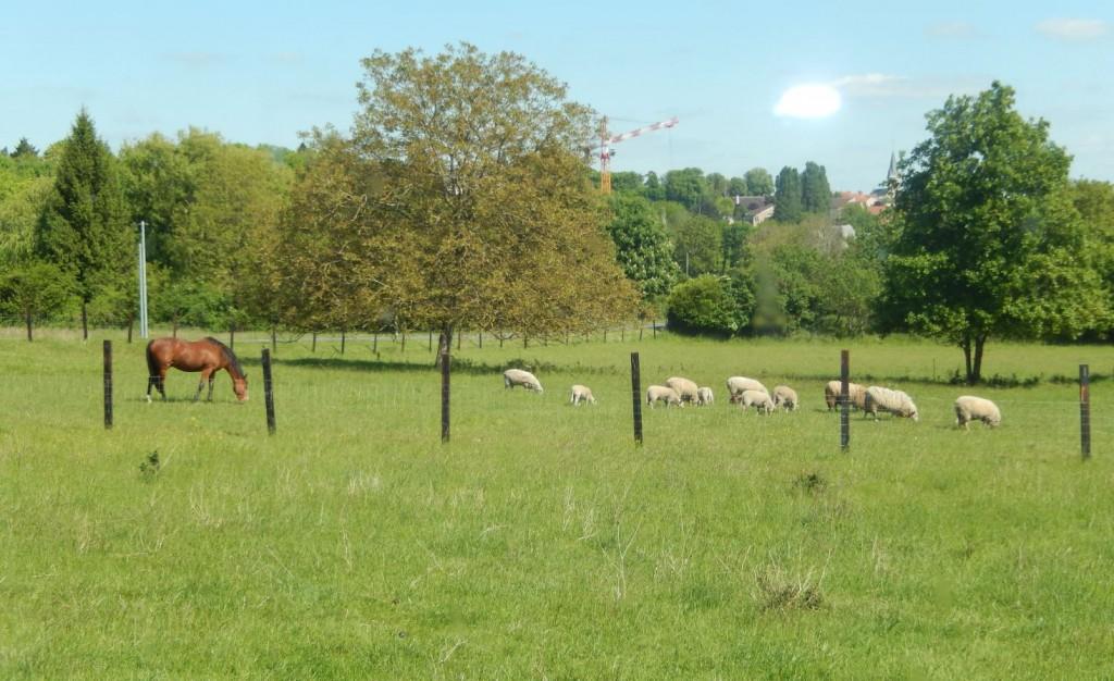 Moutons et chevaux en pâture commune