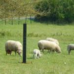 Moutons Santeny3