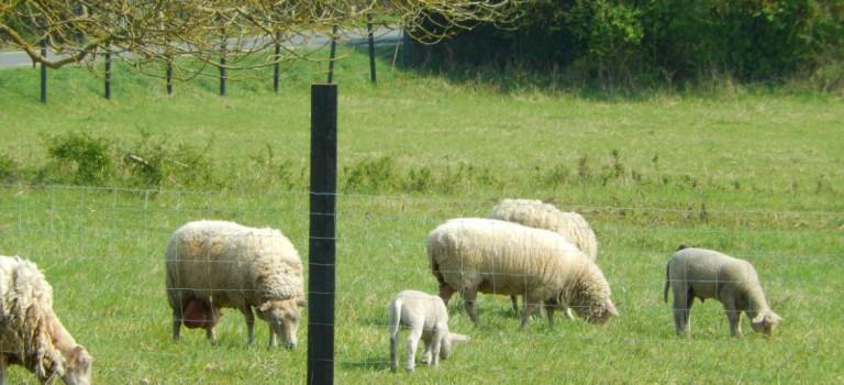 Polémique sur les moutons et chèvres du Réveillon à Santeny