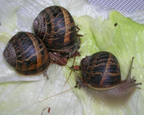 escargots-agriculture