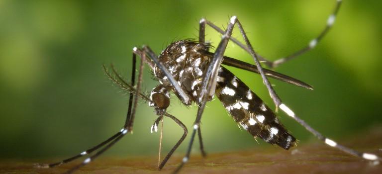 Des moustiques tigres détectés au parc floral et à Créteil