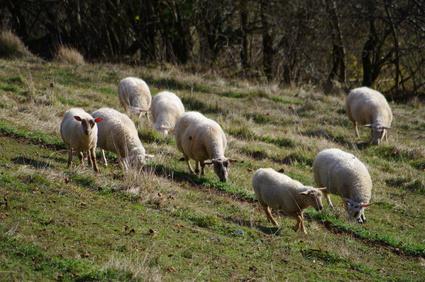 2000 carcasses de mouton prêtes à commander pour l'Aïd en Val-de-Marne