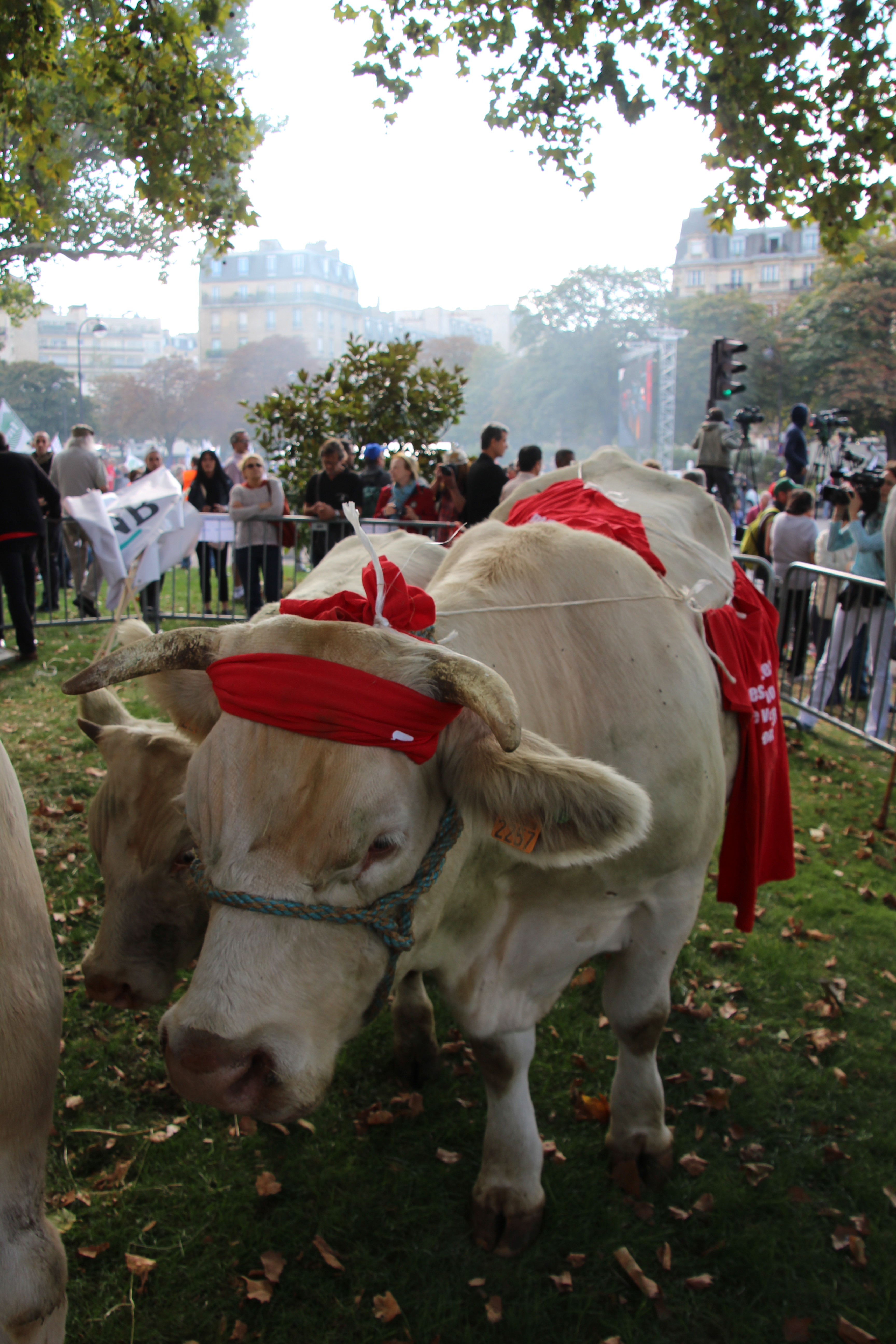 Les vaches Harissa et Ivette et le veau Idolye ont ravi les Parisiens