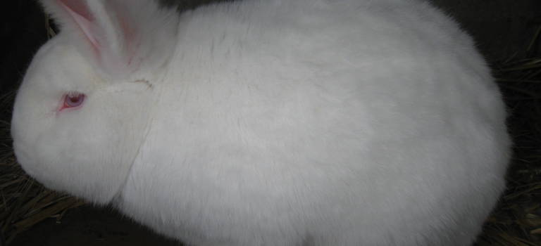 Le lapin néo-zélandais de Limeil-Brévannes lauréat au salon de l'agriculture
