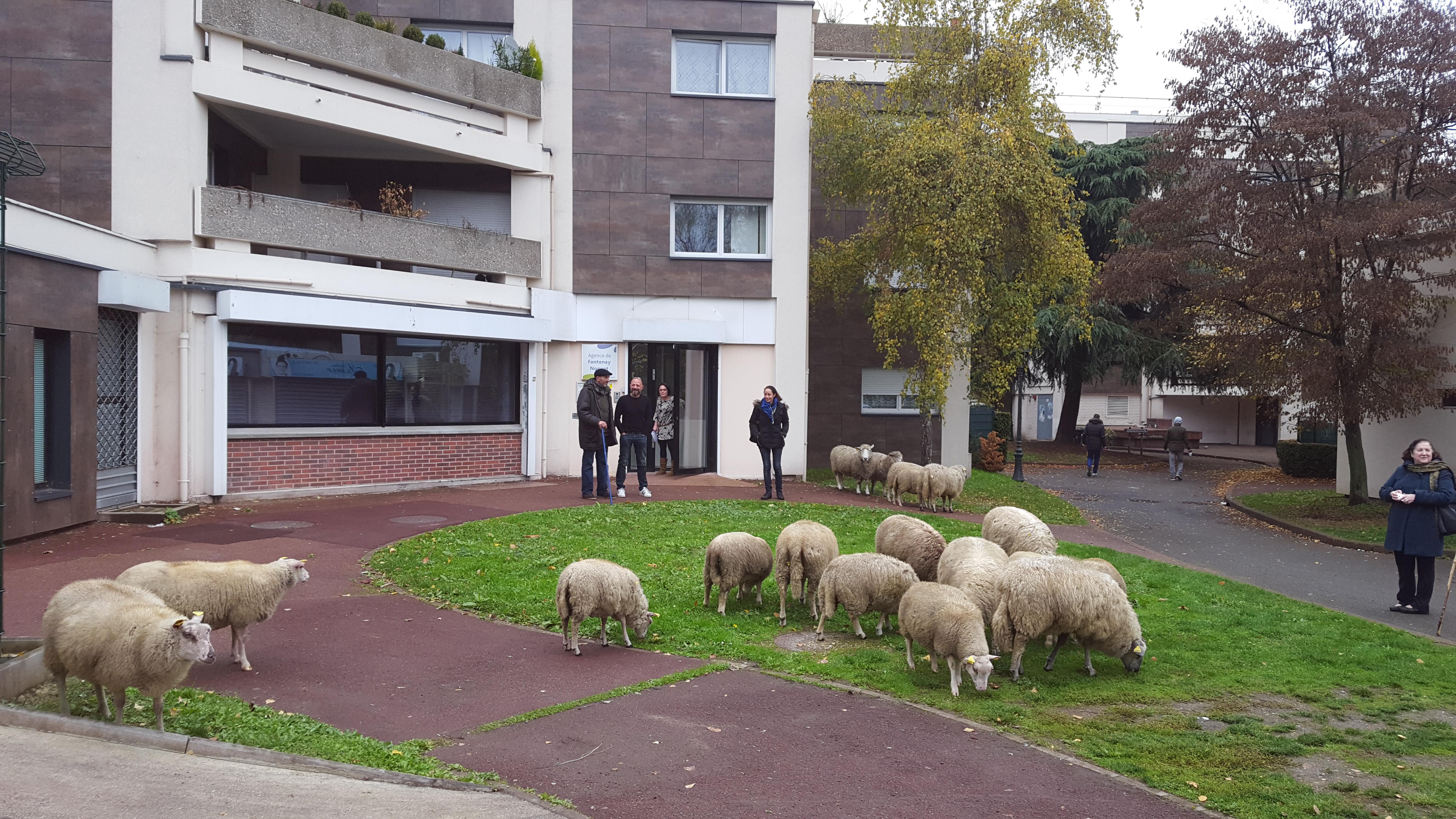 Transhumance-urbaine-Fontenay (1)
