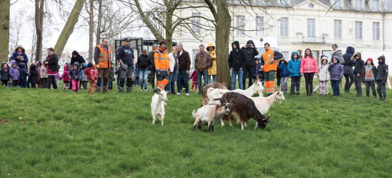 Opération éco-pâturage à Sucy-en-Brie