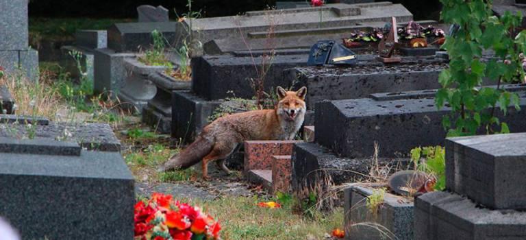 Une famille de renards au cimetière parisien d'Ivry