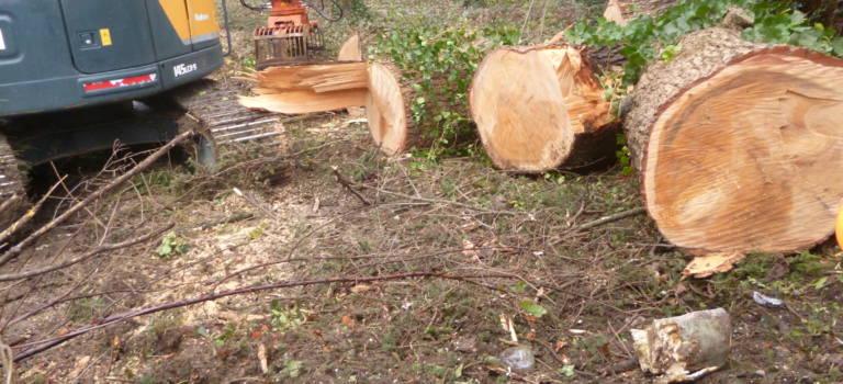 A La Queue-en-Brie: l'abattage du cèdre centenaire fait polémique