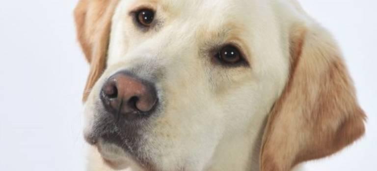 Appel aux dons pour Monty, le millième chien guide de l'école de Paris