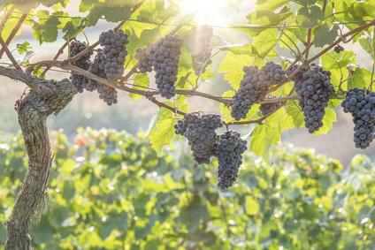 Fête de la vigne et du raisin à Villiers-sur-Marne