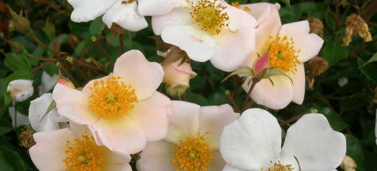 Une rose en hommage à Bernard Mandô, ancien président de la Roseraie du Val-de-Marne