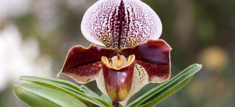 Boissy-Saint-Léger: l'orchidée Léonard de Vinci est éclose