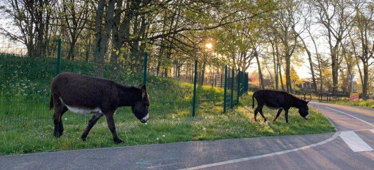 Chennevières-sur-Marne: les ânesses en ont marre du confinement