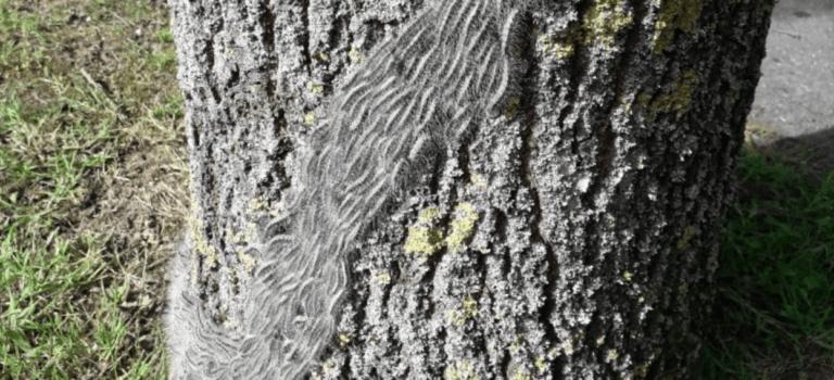 Chenilles urticantes: fermeture d'espaces verts à Chennevières, Sucy et La Queue-en-Brie