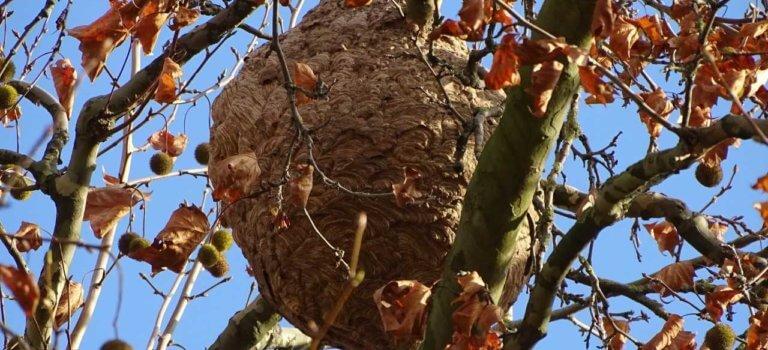 Créteil: impressionnant nid de frelons au bras du Chapitre