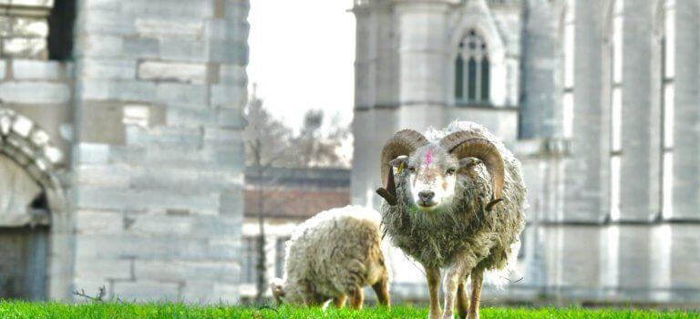 Des moutons sur les pelouses du château de Vincennes