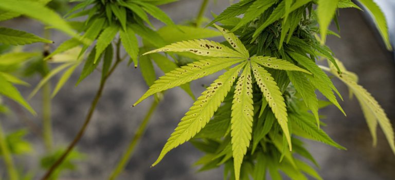 Consultation citoyenne sur l'usage du cannabis récréatif