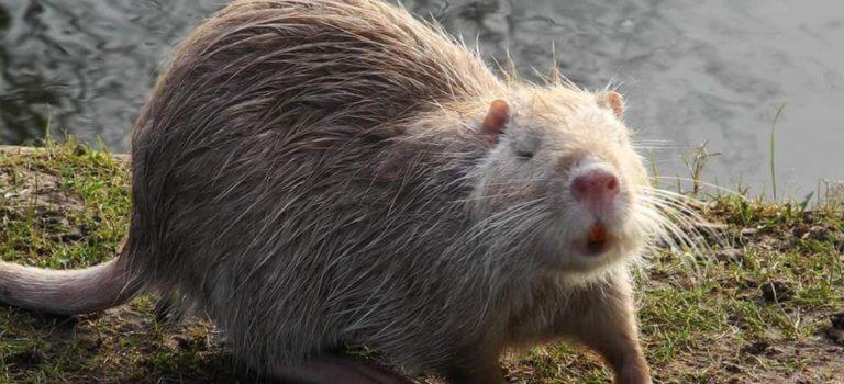 Polémique sur la chasse aux ragondins au lac Grand-Val de Sucy-en-Brie