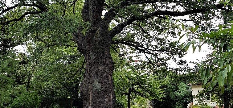 Saint-Maur-des-Fossés: manifestation écologiste pour le grand Chêne