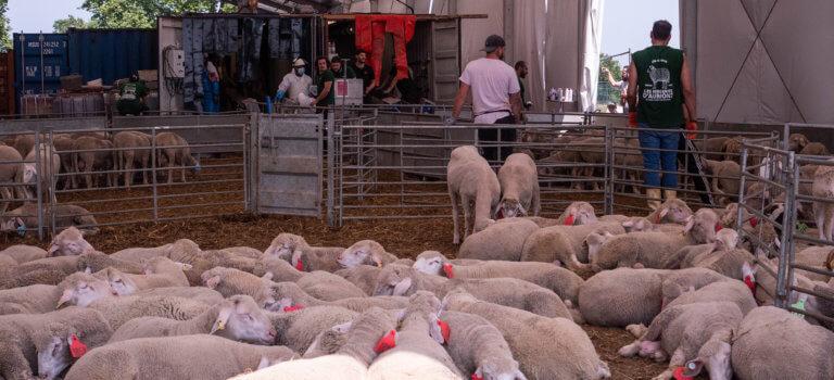 A Dugny, les fidèles se pressent pour récupérer leur mouton de l'Aïd