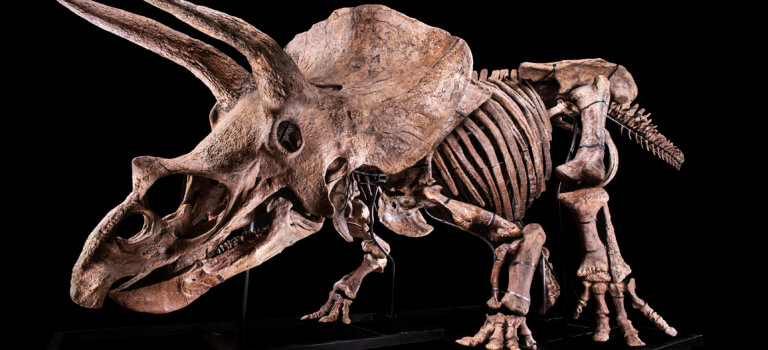 Big John: le tricératops géant exposé et mis aux enchères à Paris